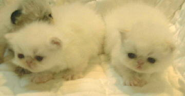 2 2 Cream Point Himalayan Kittens