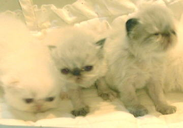 1 Cream Point and 2 Tortie  Himalayans Kittens