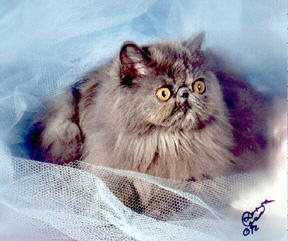 Beautiful Blue Cream Persian CPC