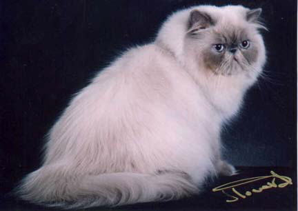 Beautiful Blue Point Himalayan Cat