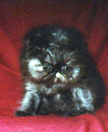 A Beautiful Tortioseshell Persian CPC Kitten