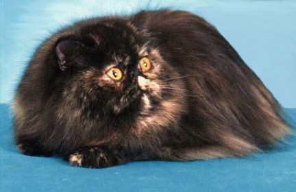 A Beautiful Tortoiseshell Persian CPC