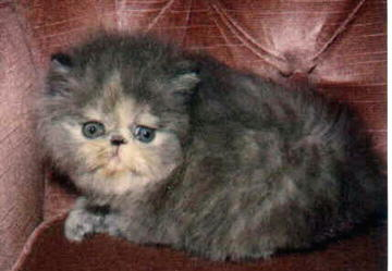 Cute Blue Cream Persian CPC