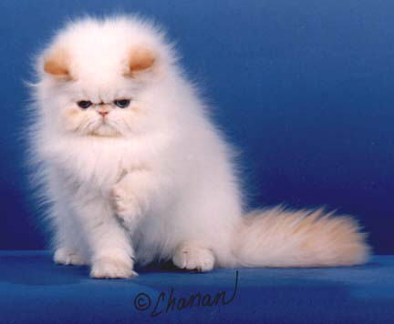 A Flame Point Himalayan