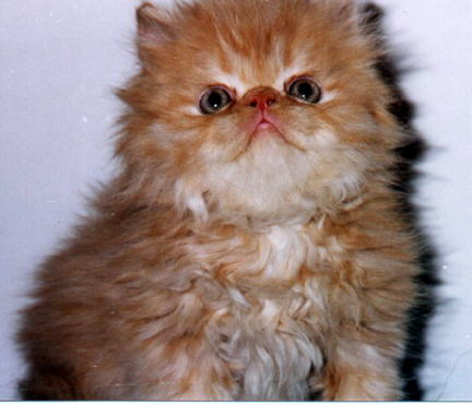 red persian male kitten