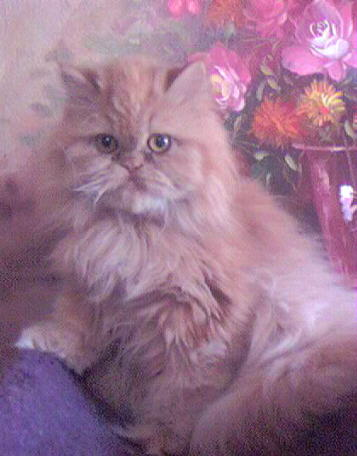 Beautiful Red Persian